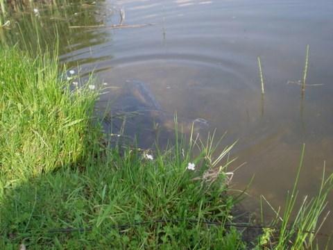 Karpfen laichen im Flachwasser
