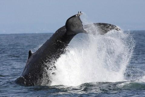 Buckelwal auf Tauchstation