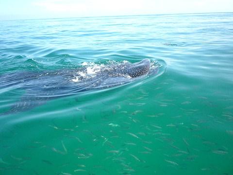Der Walhai ein Riesenfisch filtert aus dem Wasser seine Nahrung heraus