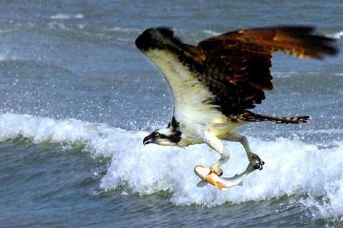 Fischadler im Jagdglück