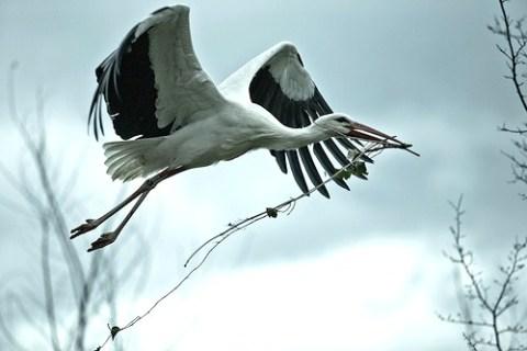 Nach der Ankunft aus dem Winterquatier aus Afrika, erweitert der Storch sein Nest mit Reisig