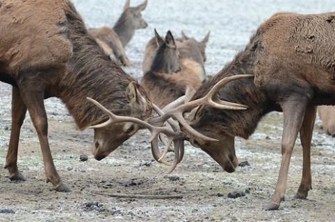 Zwei Rothirsch-Männchen kämpfen in der Brunftzeit, um die Gunst der Weibchen