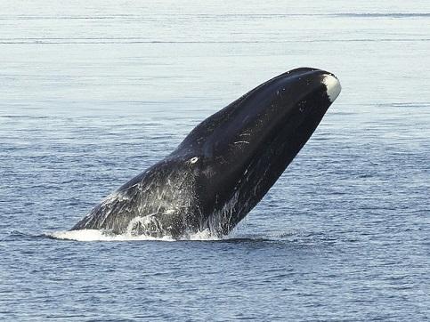 Der Grönlandwal kann über 200 Jahre alt werden.