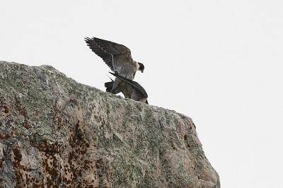 Wanderfalken sind in Mitteleuropa ganzjährig anzutreffen und bauen keine Nester. Sie nutzen vohandene kleine Höhlen oder Felsbänder sowie verlassene Nester von anderen Vögeln.