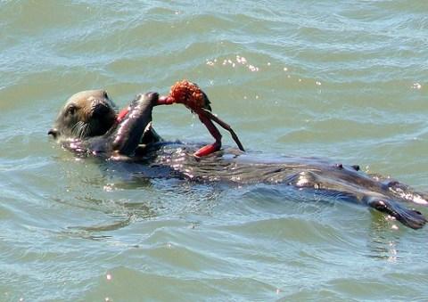 Der Fischotter verspeist genüsslich eine Krabbe