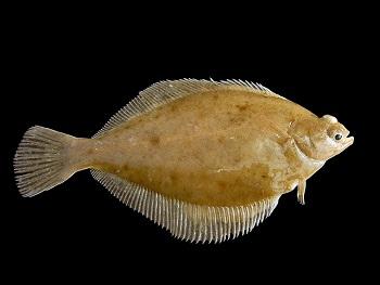 Die Kliesche (Limanda limanda) ist auch ein Angelfisch in der Nord- und Ostsee.