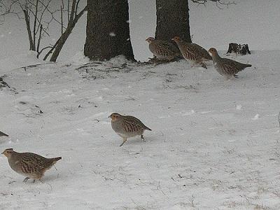 Im Winter kommen Rebhühner schwer an Futter ran. Das Rebhuhn ist in Größe und Aussehen dem Rothuhn, dem Alpensteinhuhn und dem Chukarhuhn ähnlich.