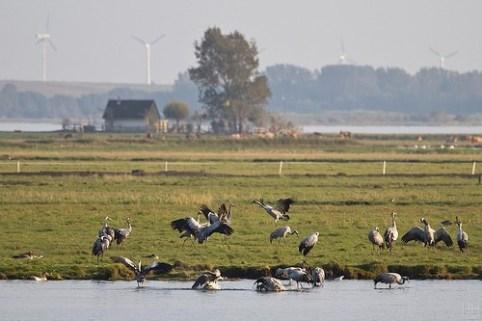 Kraniche in Mecklenburg-Vorpommern, die sich langsam sammelm, um in die Winterquatiere zu fliegen.