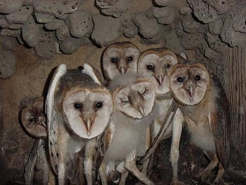 Sechs junge Schleiereulen in der Bruthöhle