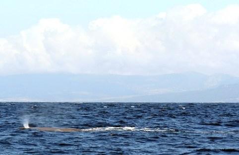 Der Finnwal ist eine seltene Art.