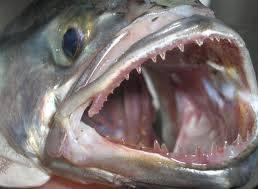 Der Blaufisch mit seinen messerscharfen Zähnen.