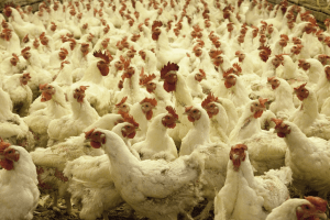 Cage Free factory farm chickens.