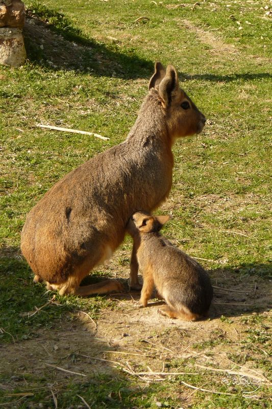 Maman et Bébé Mara - La tétée