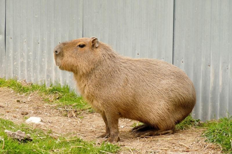 Capybara la pose