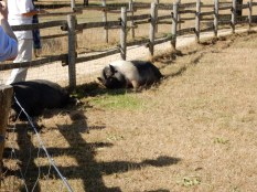 Tired pigs - it was really effing hot that day
