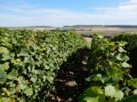 Stopped off at a handy vista of champagne grapes