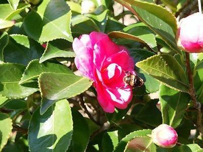 山茶花の上のハチ