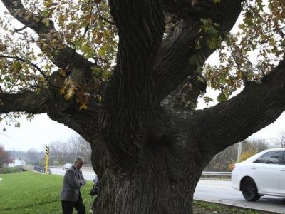 DuPage County Board member Jim Healy surveys the base of the Hobson Oak, a 250-year-old bur oak that must come down, despite its historical significance in the memories of many Naperville natives, because arborists have determined it is decaying.
