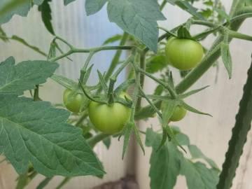 Stand der Tomaten am Johannistag