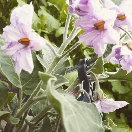 Mini-Aubergine 'Ophelia'