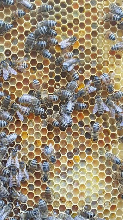 Wabe mit Pollen