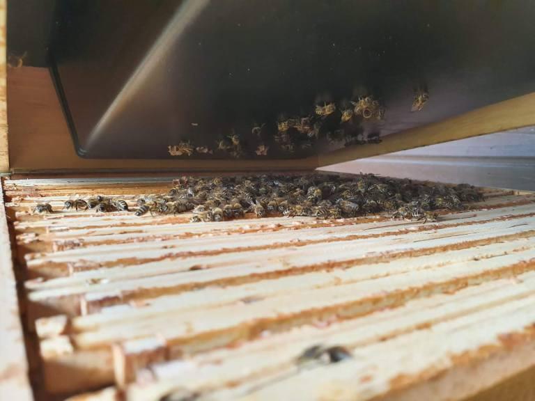 """""""Vorsichtiger Blick in die Beute"""" - Gartenbienen in der Traube um die Königin"""