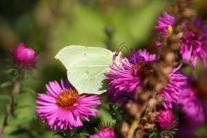 Citroenvlinder vrouwtje 2