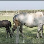 Pip paarden