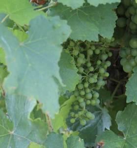Verjus wird aus unreifen Trauben gepresst.