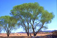 Vegetación en los belenes - Arboles