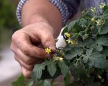 Flor planta tomatera