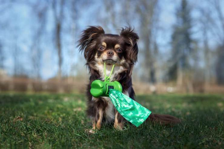 A dog holds up his plastic bags