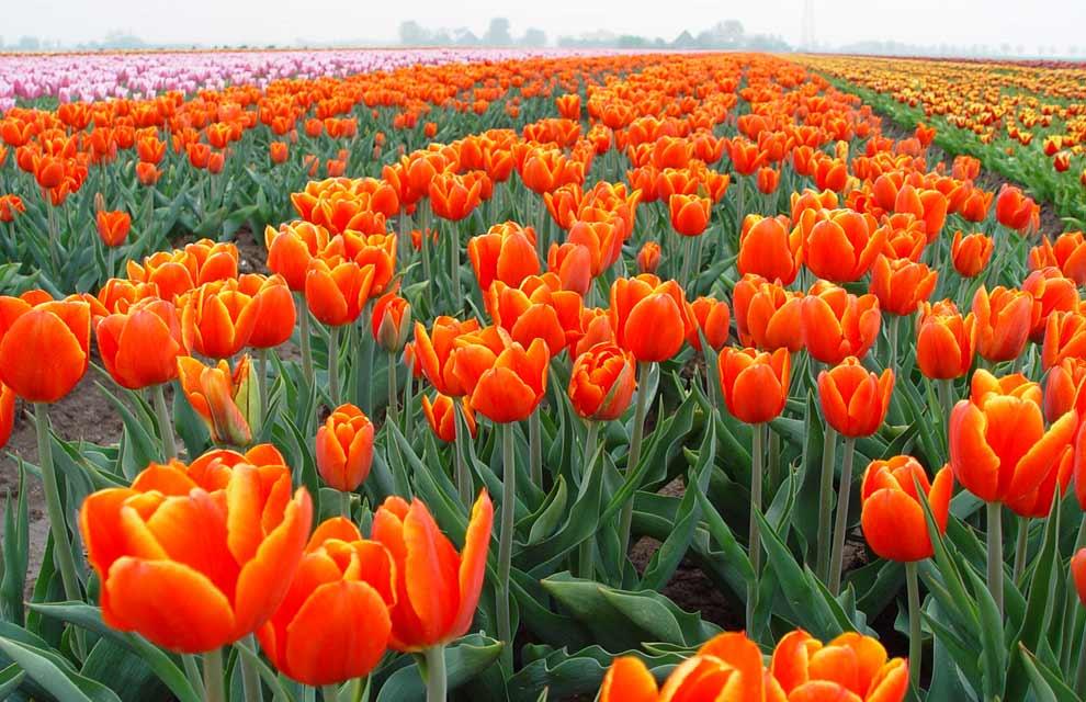 a_Oranje_tulpen.jpg