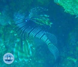 Sea devils on Crete snorkling