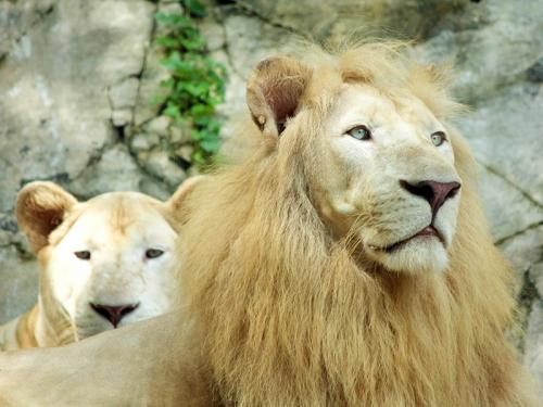The White Lion Kingdom