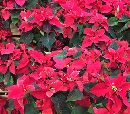 poinsettia, day, flowers, poinsettias, december, 12
