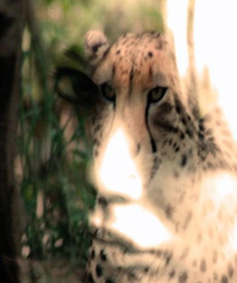 jennfarmer-cheetah