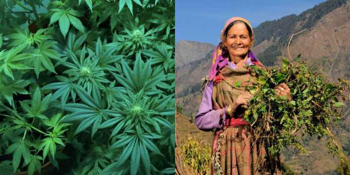 Cultivating Marijuana in Himachal Might Just Get Legal - Read More ...