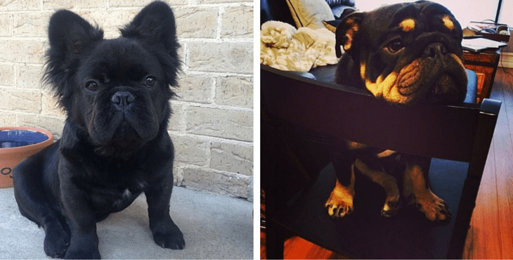 11 Of The Cutest And Funniest French Bulldog Mixes