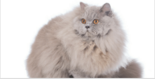 British Longhair Cat All About Its Personality