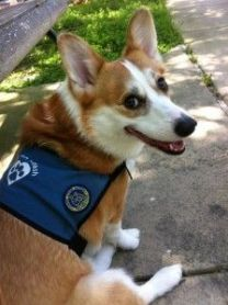 corgi service dog