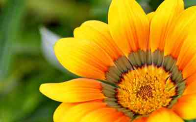 Flower Essences for Lame and Arthritic Pets