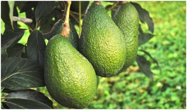 avocado tree e1478184860162 Why avocado is an amazing superfood