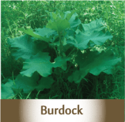 burdock2