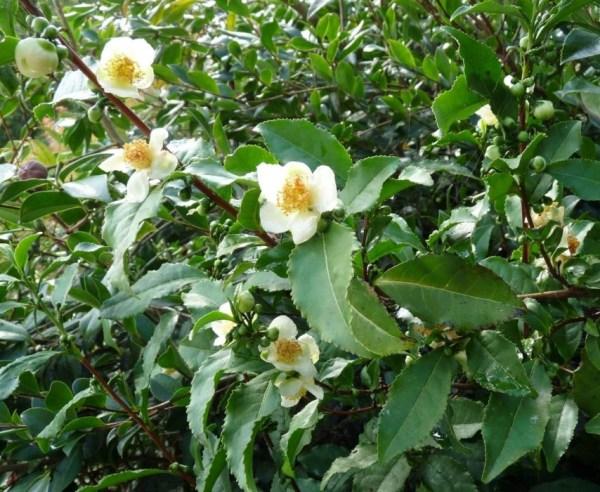 Camellia sinensis Zyflamend 120 veg caps