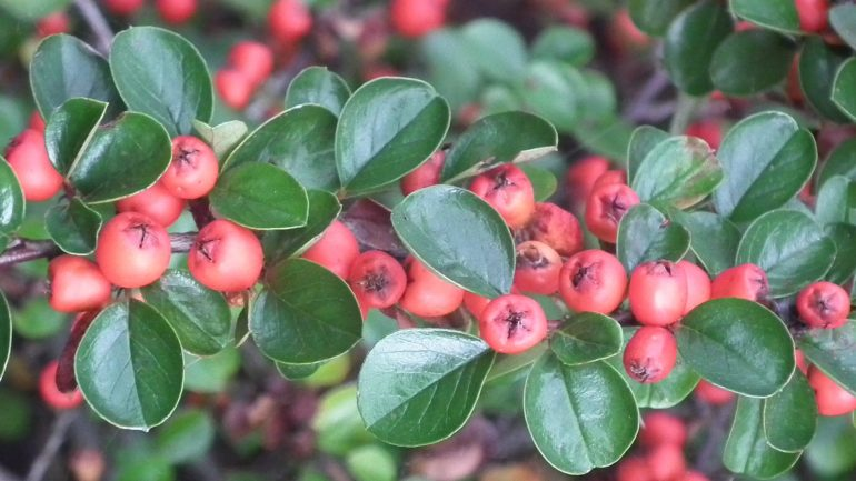 Evergreen Hedges for Front Gardens