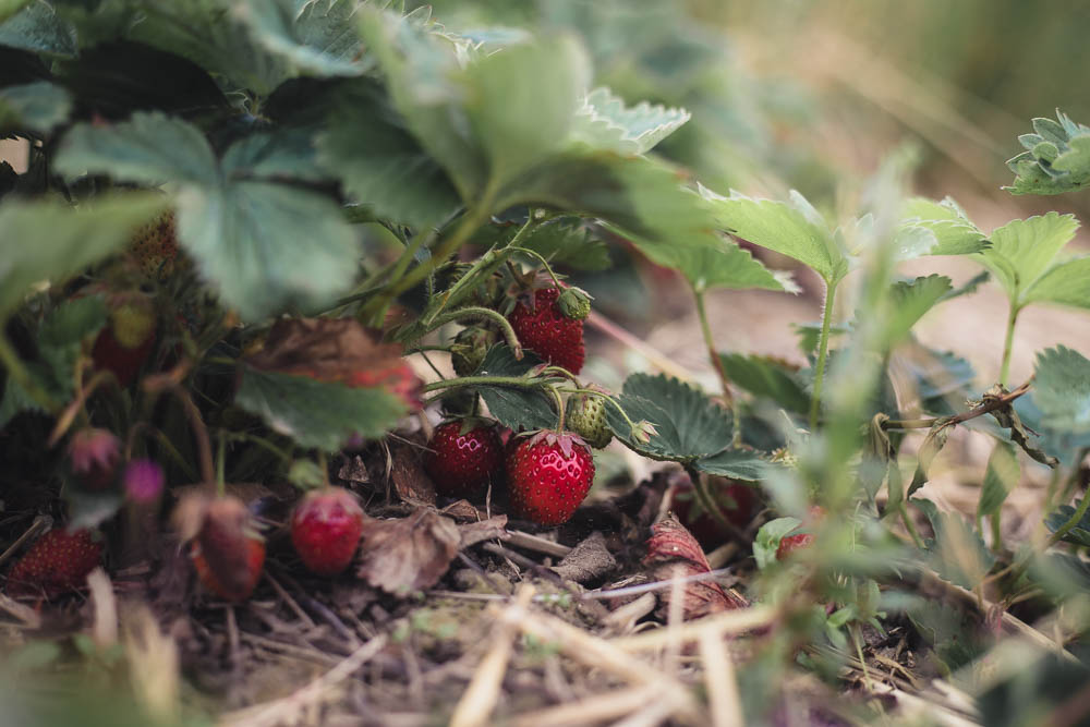Close up of a strawberry plant on the ground at Scaddows Farm