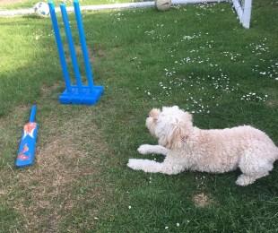 Poppy cricket 2