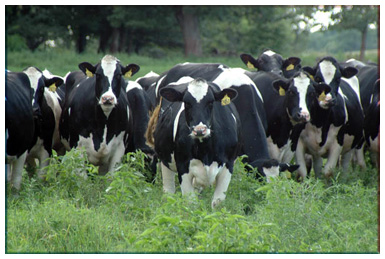 Image result for holstein cow