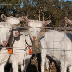 Holy Goat Cheese and Sutton Grange Organic Farm
